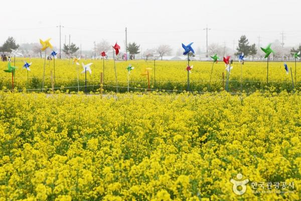 유채꽃축제. [사진=한국관광공사]